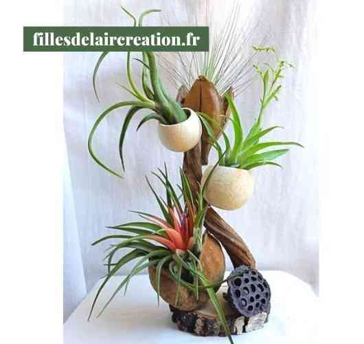 Tillandsia's creation (4 plants)